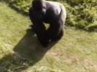 Goryl chroni dziecko, które wpadło do zagrody