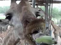 Karmienie żyraf