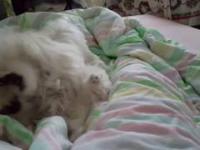 Lucky i Tuptuś - maltańczyk - zabawa na łóżku