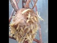 Gniazdo modliszka