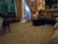 Driftujący Pies