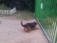 Walka psów na śmierć i życie