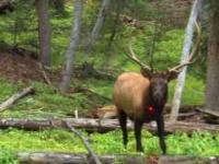 13-latek masakruje jelenia.