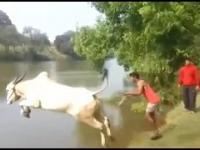 Krowa daje nura do wody