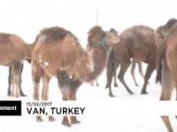 Wielbłądy i ich reakcja na śnieg