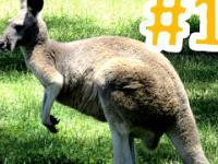 1 AUSTRALIA autostopem - Pierwsze kangury