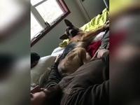 Facet próbuje pomasować łapkę owczarka niemieckiego