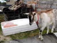 Pijana koza skacze | Jumping drunken goat