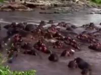 Hipopotamy dają wycisk krokodylowi Nilowemu