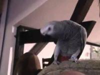 Papuga gadająca po Polsku