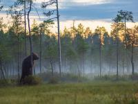 Największy niedźwiedź brunatny w Finlandii