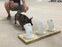Trening szczeniaka na policyjnego psa antynarkotykowego