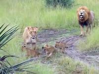 Rodzinny spacer i nauka ryczenia w wykonaniu młodych lwów