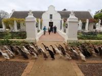 Ogromne stado kaczek biegnące do swojej