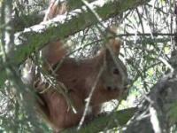 Wiewiórka wcina orzeszka