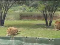 Lwica która myślała że umie latać