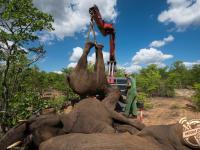 Jak uratować słonie, które uciekły z rezerwatu?