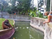 Wyjątkowo mądry orangutan handluje z człowiekiem