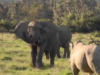 Słoń pokazał nosorożcowi kto tutaj rządzi