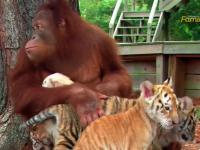 Orangutan opiekuje się tygryskami