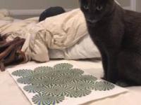 Gdy pokażesz kotu złudzenie optyczne