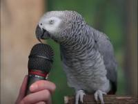 Genialna papuga naśladuje różne dźwięki