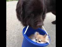 Pies niesie swojego psiego przyjaciela w wiaderku