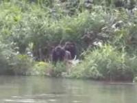 Spotkanie po latach z dwoma gorylami, które zostały wypuszczone na wolność