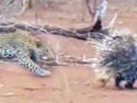Leopard dostaje nauczkę od jeżozwierzy