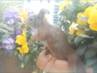 Wiewiórcza rodzina mieszkająca na parapecie okna u człowieka
