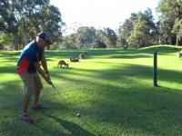 Ogromne stado kangurów urządza sobie wypas na polu golfowym