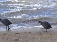 Młode łyski na plaży