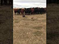 Krowy wybrały nowego przywódcę