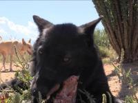 Wilk atakuje człowieka - nagranie ze zdarzenia