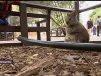 Quokka - sympatyczny torbacz z Australii