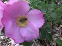 Pszczółki zapylające różę