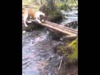 Pies buldog próbuje przeprawić się przez rzekę