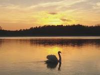 Przepiękny samotny łabędź na jeziorze Głębokim nagrany w 4K