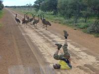 Australijczyk pokazuje, jak zwabić do siebie emu