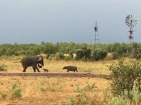 Malutki bawół pokazuje słoniowi kto tu rządzi