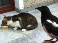 Sroka trolluje koty na balkonie