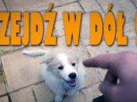 Jak nauczyć psa leżeć ? Szkolimy BEZĘ