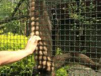 Cwana małpa we wrocławskim ZOO