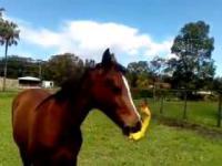 Koń, który bawi się gumowym kurczakiem