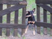Incredibly clever dog !!! See how a Pincher can handle a stick ! Like this and share!!!