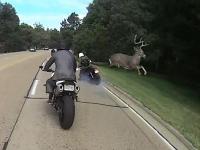 Jeleń zdejmuje motocyklistę