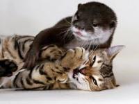 Nierozłączni para: kot bengalski oraz wydra