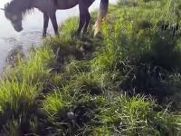 Idiota utopił konia