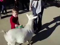 Pierd kozy straszy dziecko