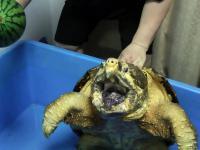 Żółw sępi vs Arbuz